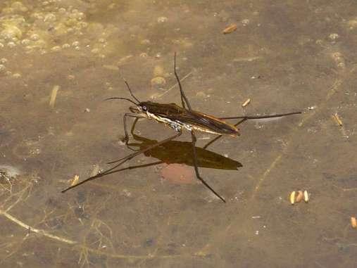 Insekten wie Wasserläufer werden von vielen Wasservögeln gefressen, © Gaby Schulemann-Maier