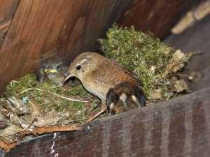 Ein Zaunkönig-Nest in einem geschützten Bereich einer offenen Gartenhütte, © Gaby Schulemann-Maier