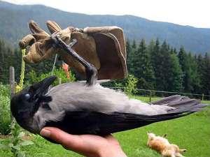 So bitte nicht! Diese Nebelkrähe ist verspielt und auf Menschen geprägt, weshalb eine Auswilderung dieses Vogels sehr schwierig sein dürfte, © Sigrid Breineder