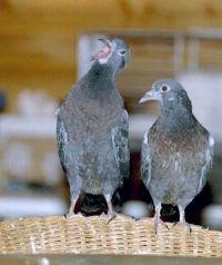zwei kleine Tauben © Anke Dornbach