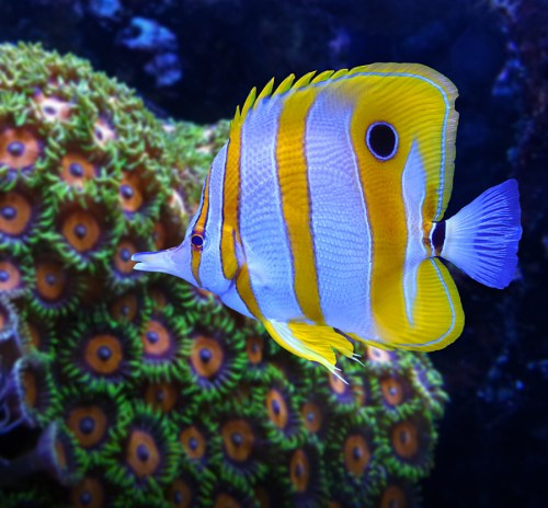 Beautiful Butterfly Fish Pictures