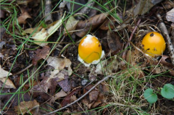 Amanita flavoconia in the egg or button stage. Judges option James and Judy Adams