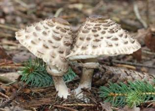 Documentary 1st Place Chlorophyllum rhacodes ~ Fluff Berger