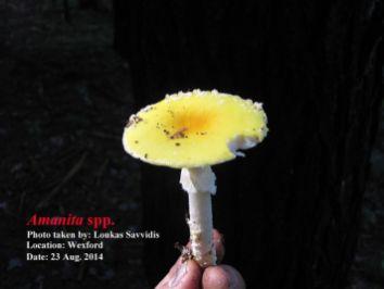 Loukas Savvidis - Amanita spp