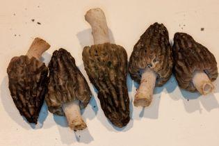 Morchella angusticeps (Black Morel) by Richard Jacob