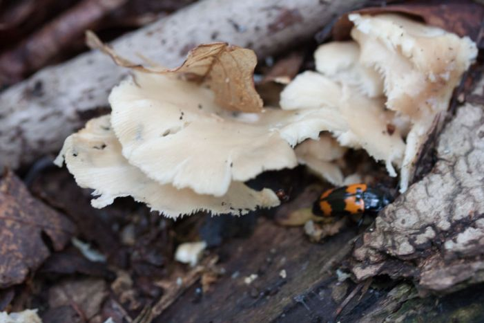 Pleurotus ostreatus ( Oyster Mushroom). By Richard Jacob.