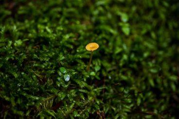 Rickenella fibula ( Orange Moss Agaric),