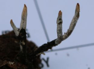 Xylaria hypoxylon (Carbon Antlers or candlesnuff fungus). By Brian Johanson