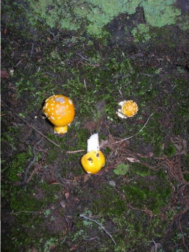 Amanita muscaria formosa. By Dick Dougall.