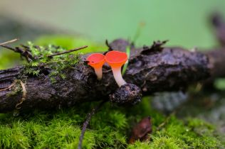 Sarcoscypha occidentalis ( Stalked Scarlet Cup). By Brian Johanson.