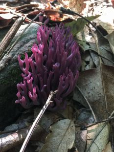 Clavaria zollingeri (violet coral). By Richard Jacob.