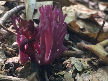 Clavaria zollingeri (violet coral). By Richard Jacob.