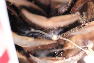 Baeosporaz myosura. B. Brian Johnsan