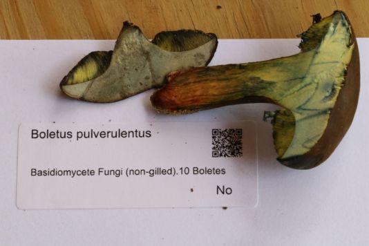 Boletus_pulverulentus-Brian_Johanson
