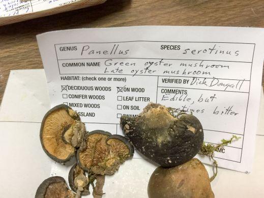 Panellus sertinus