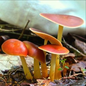 Pictorial 2nd Place: Fluff Berger - Gymnopus dryophilus - Oak-Loving Collybia