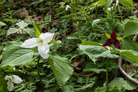 Trillium grandiflorum (White) and Trillium erectum (red)