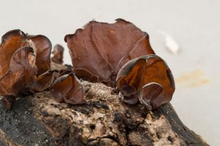 Auricularia auricula. WPMC 1008 other side. By Richard Jacob