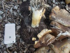 Mycelial cord or rhizomorphs like roots