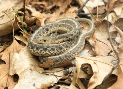 We weren't the only ones hunting in the woods, an Eastern Garter snake.