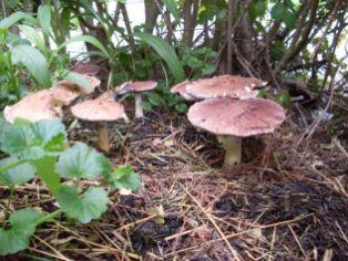 Mushroom bed fruiting