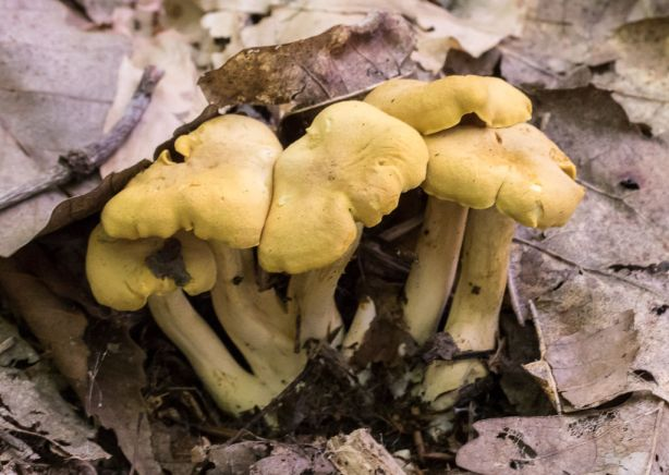 Cantharellus cibarius. By Richard Jacob