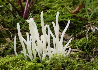 Clavaria vermicularis. By Richard Jacob