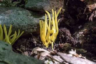 Clavulinopsis fusiformis. By Richard Jacob