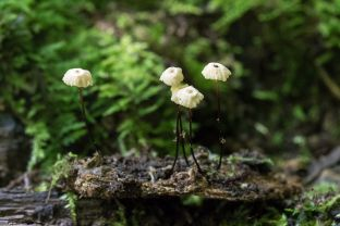 Marasmius rotula. By Richard Jacob