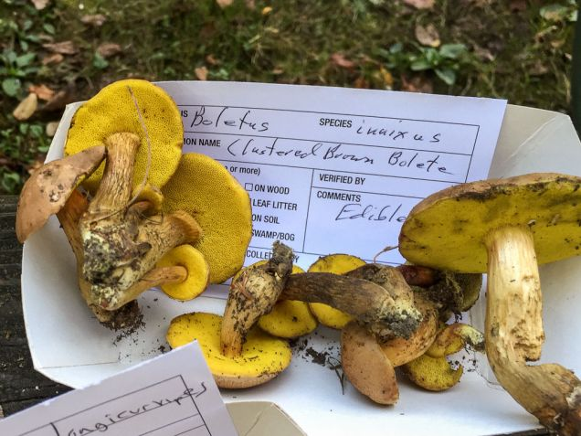 Aureoboletus innixus. By Richard Jacob