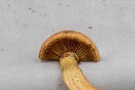 gymnopilus-luteus-gills-by-richard-jacob