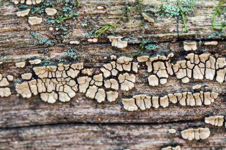 xylobolus-frustulatus-variant-with-upper-ridge-or-overhang-by-richard-jacob