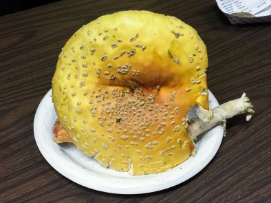 amanita-muscaria-var-guessowii-by-richard-jacob