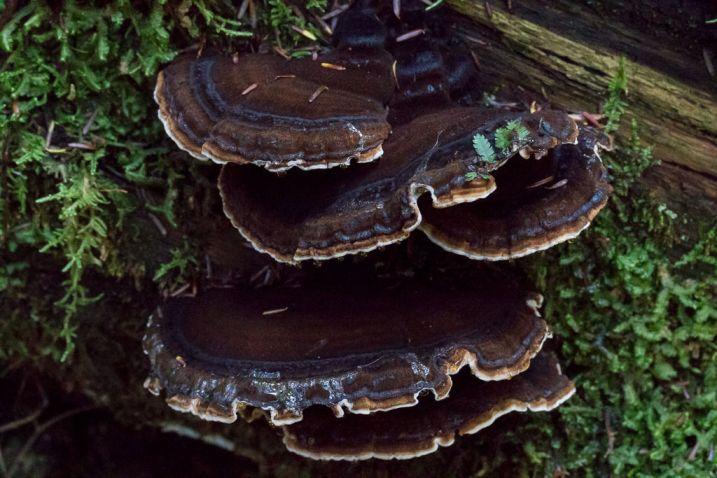 Identified as Ischnoderma benzoinum