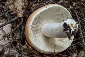 russula-compacta-gills-by-richard-jacob