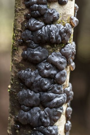 Exidia glandulosa. By Richard Jacob