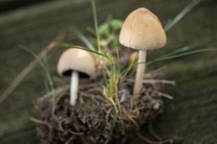 Coprinus atramentarius. By Richard Jacob