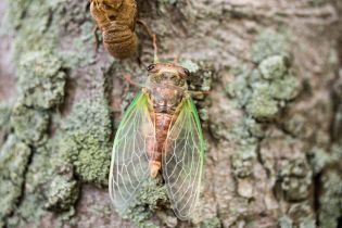 Diceroprocta sp.. A green winged cicada that has just emerged from its pupa. By Richard Jacob