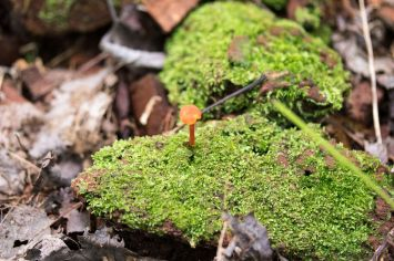 Hygrophorus miniatus. By Richard Jacob