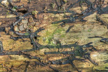 Armillaria sp.. By Richard Jacob