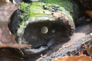 Simocybe centunculus. By Richard Jacob