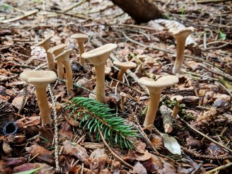 Clitocybe gibba. By Jared White.