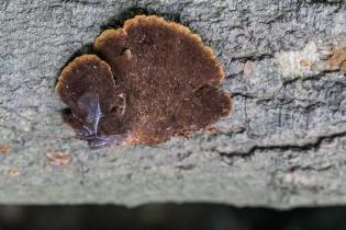 Phellinus gilvus. By Richard Jacob-2