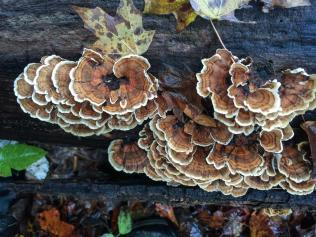 Trametes versicolor. Maybe. . . By Richard Jacob