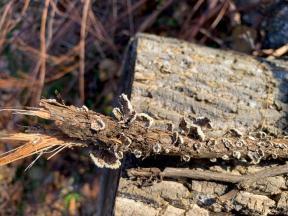 Schizophyllum commune. By Richard Jacob-3