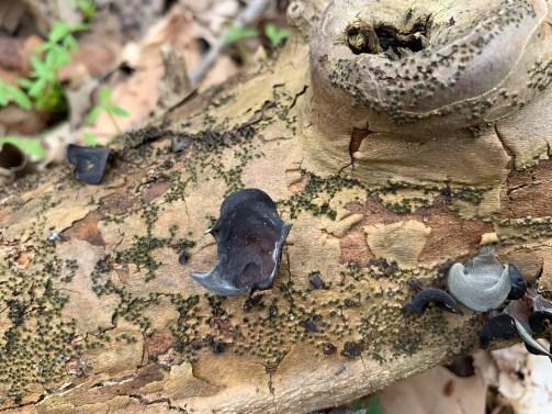 Auricularia angiospermarum