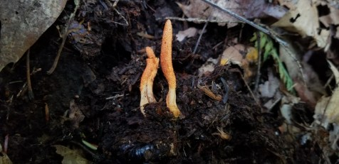 Cordyceps militaris. By Jerry Sapp