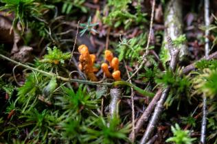 Cordyceps militaris. By Richard Jacob-2