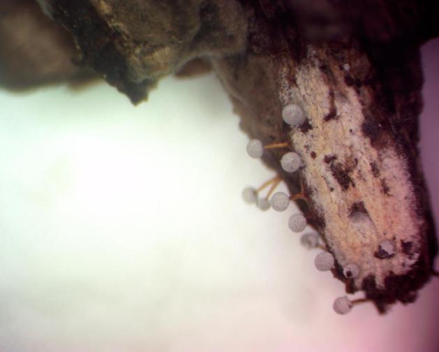 Physarum globuliferum-0001