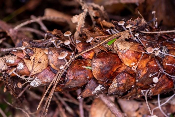 Baeospora myosura. . By Richard Jacob-2